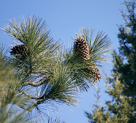 Pine (Pinus jeffreyi) from Wikipedia