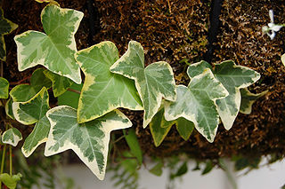 English ivy (Hedera helix) from Wikipedia