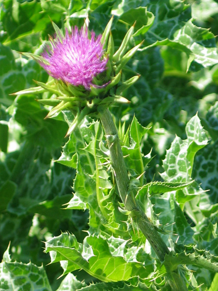 how to use milk thistle seeds